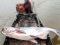 周口惊现1.3米鲶鱼精